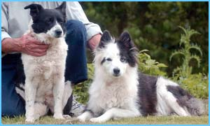 two collie mixes