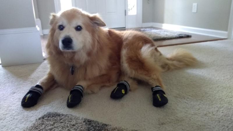 dog wearing dog boots