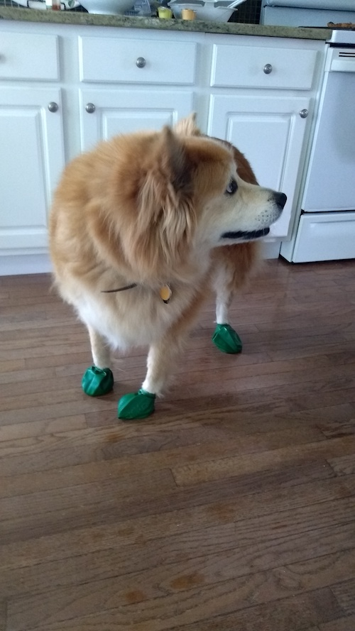 dog wearing boots