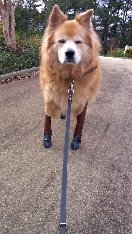 dog walking outdoors in boots