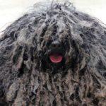 bergamasco dog breed