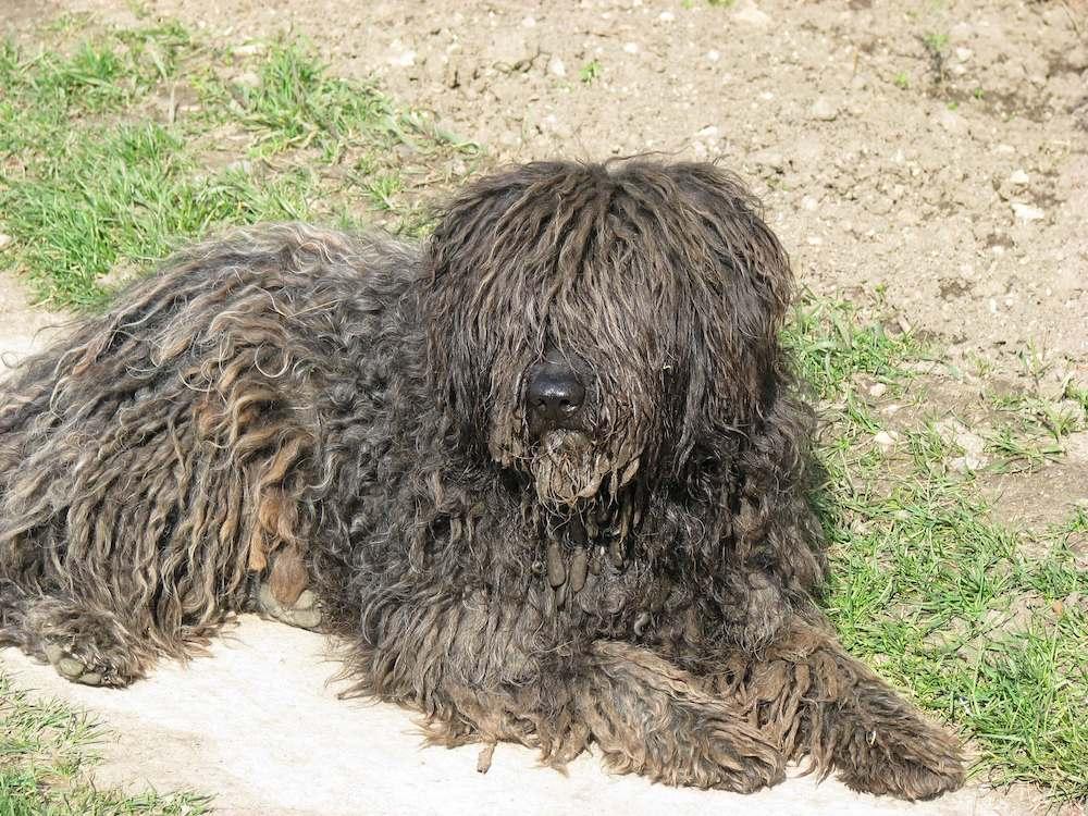 bergamosco dog