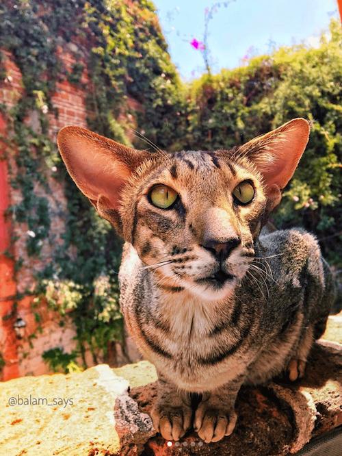 balam famous cat