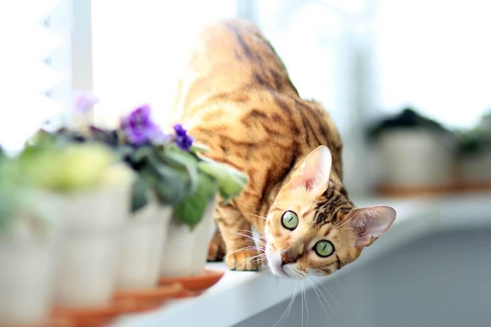 small bengal cat