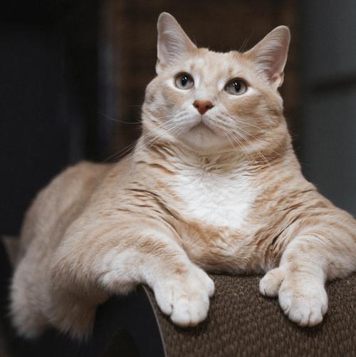 Bronson famous Cat