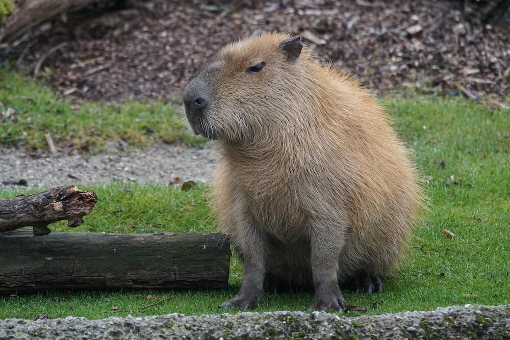 capybara outdoors
