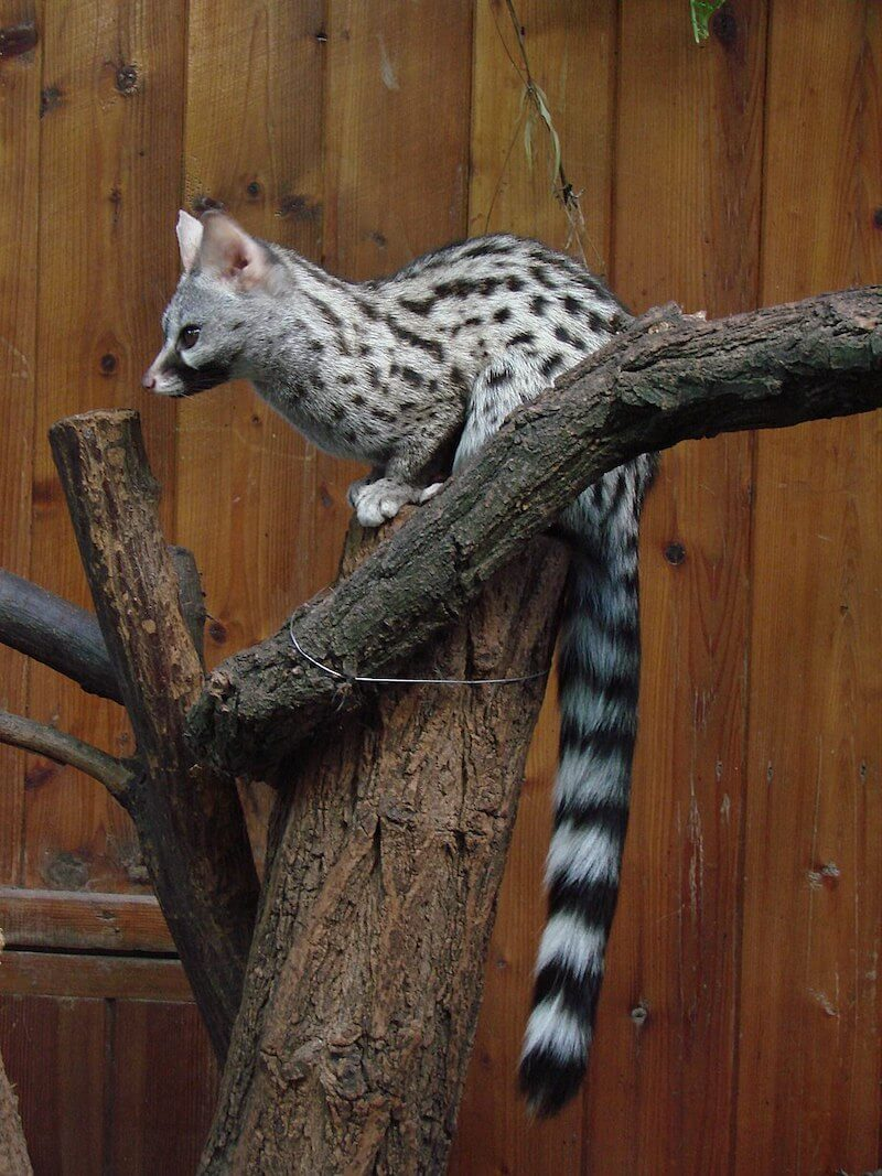 Chestnut-Spotted Genet on a tree