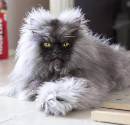 Colonel Meow famous cat