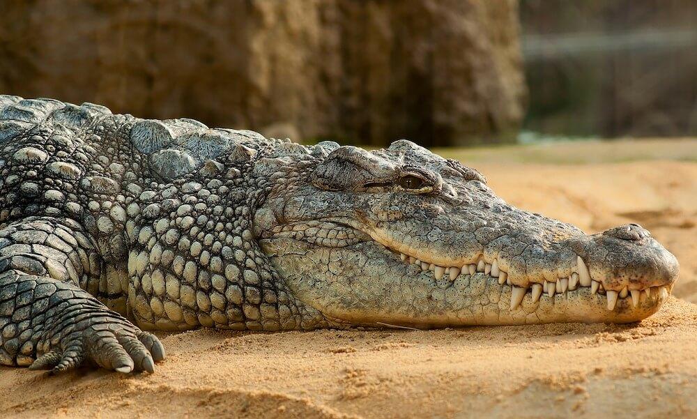 crocodile outdoors