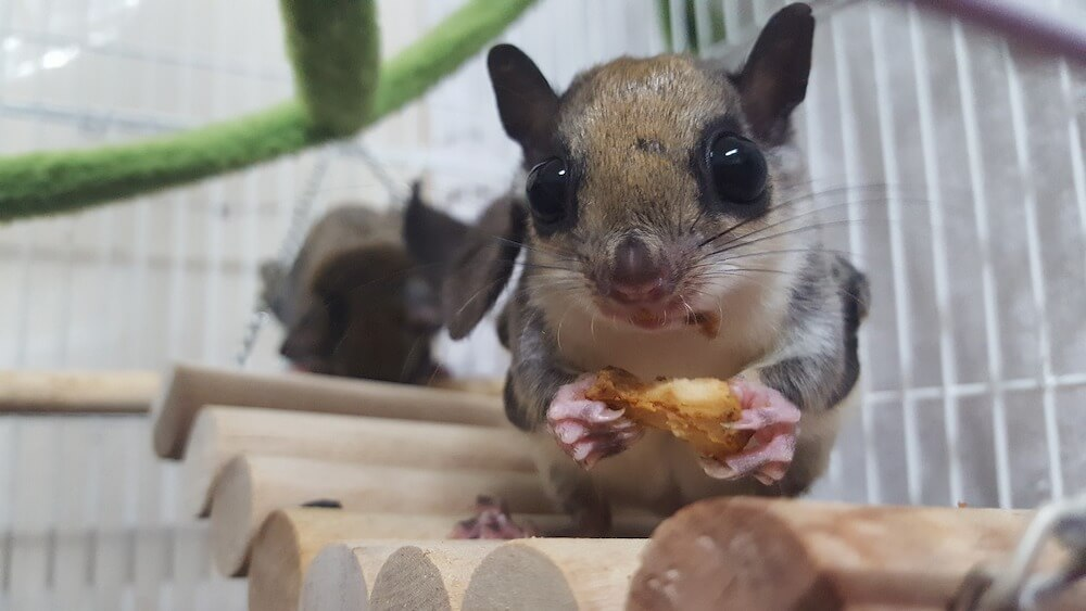 Flying Squirrel eating