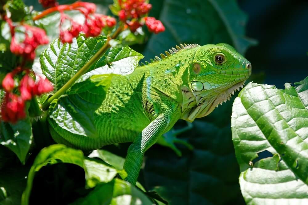 Green Iguana in leaves