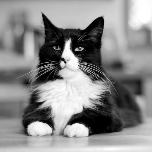 henri famous cat