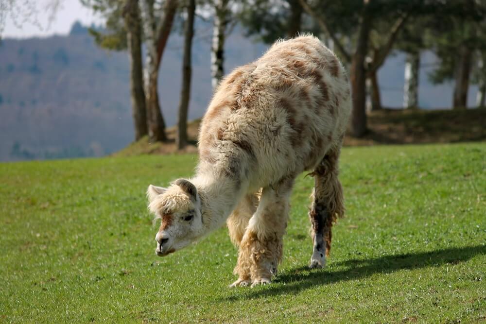 llama outdoors