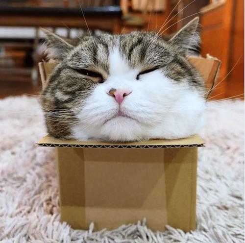 Maru famous cat