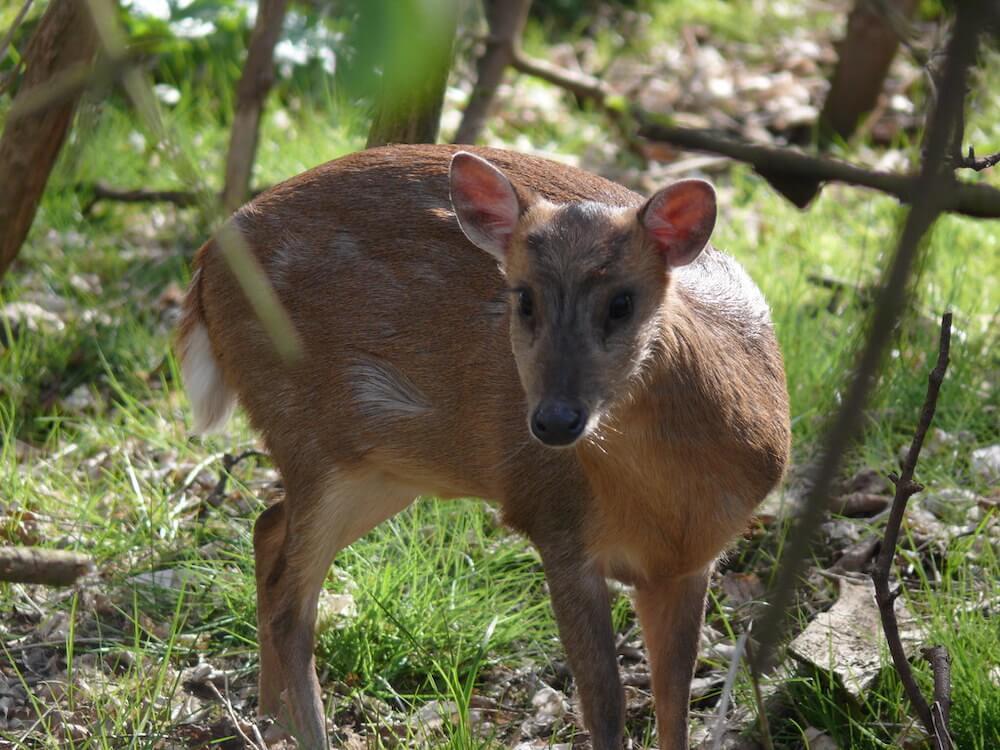 Muntjac Deer outdoors