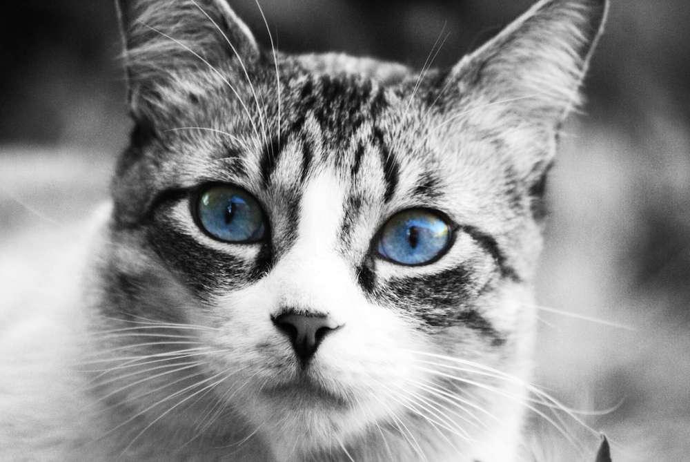ojos azules cat