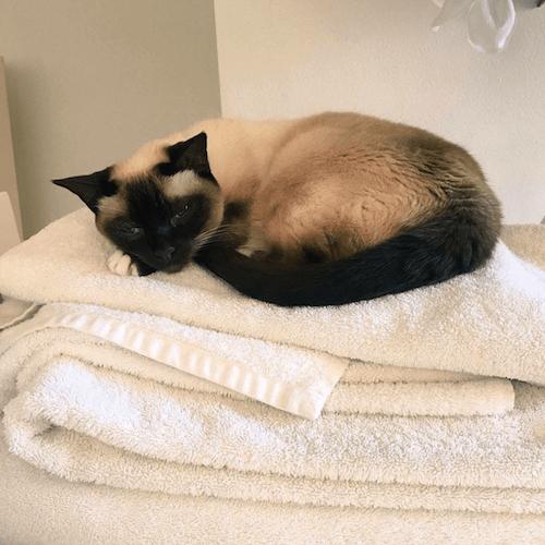 ollie famous cat