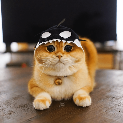 pisco famous cat