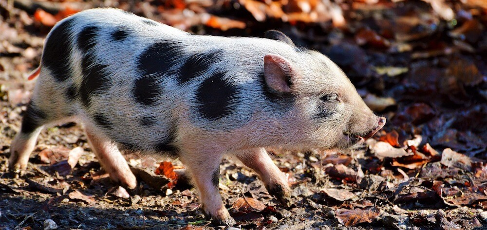 Pot Bellied Pig outdoors
