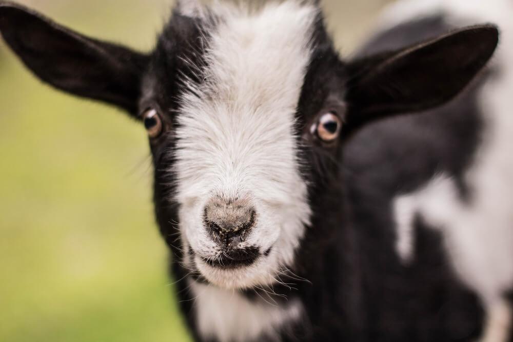 pygmy goat close up
