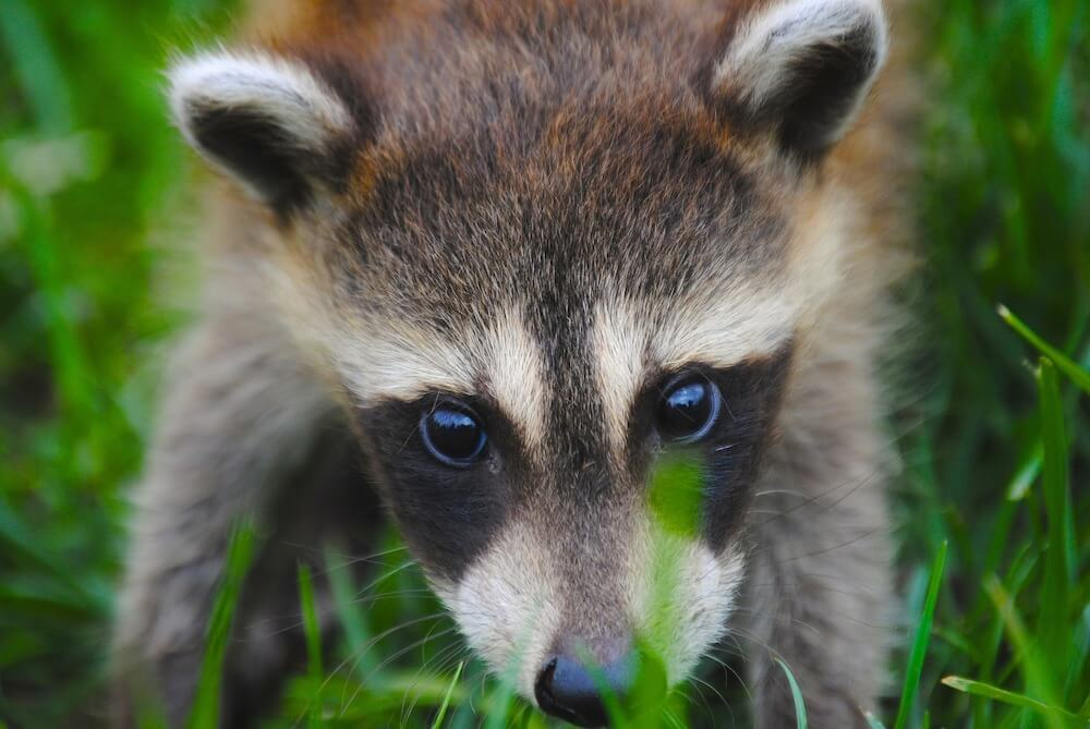 racoon close up