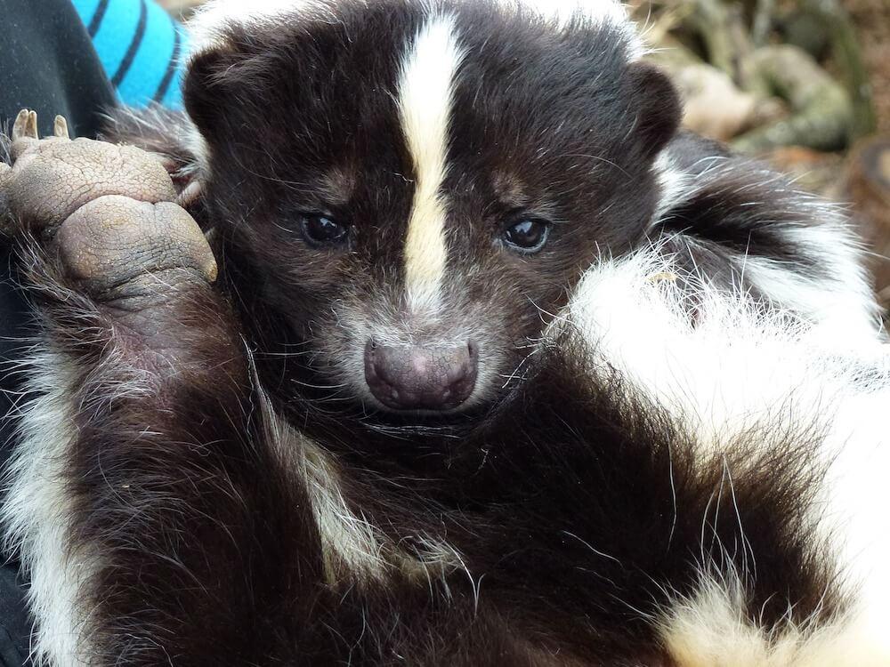 skunk close up