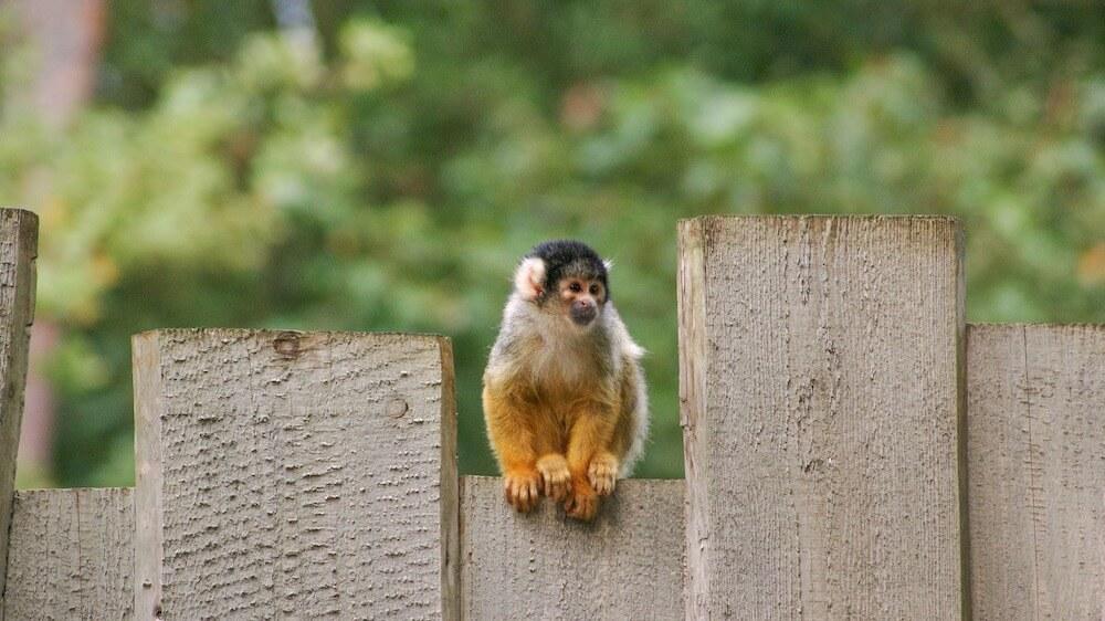 Squirrel Monkey on fence
