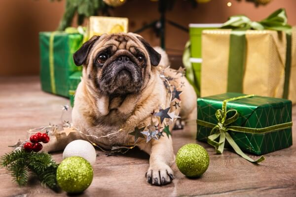 pug and Christmas gifts