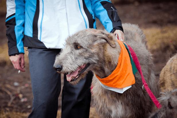 Irish Wolfhound-large-dog-breed