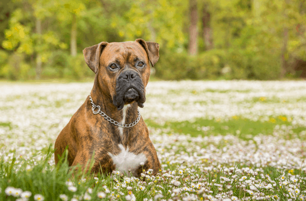 large-breed-dog-in-the-grass