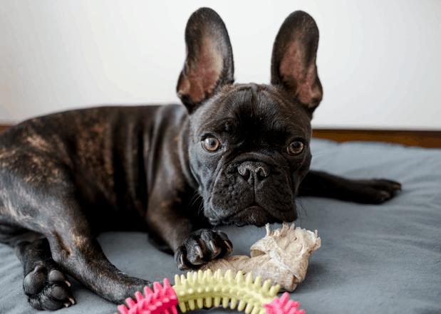 bulldog-with-toys