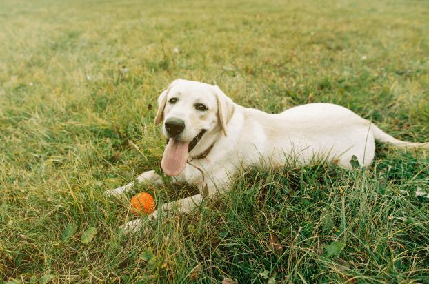 happy-labrador-fetch-ball